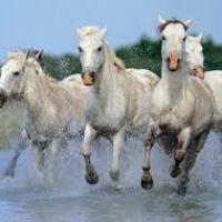chevaux de camargue