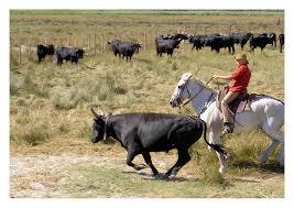 triage de taureaux